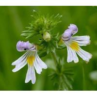 Proportional Extracts :Eyebright Herb extract