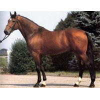 Buy cheap Warmblood horse product